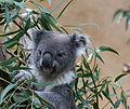 Koala (3338476021).jpg