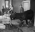 Koeien in de huiskamer in Sloten, Bestanddeelnr 905-0132.jpg