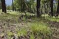 Koeleria macrantha - Flickr - aspidoscelis.jpg