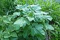 Korina 2014-05-11 Brassica nigra.jpg