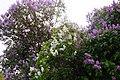 Korina 2017-05-07 Syringa vulgaris.jpg