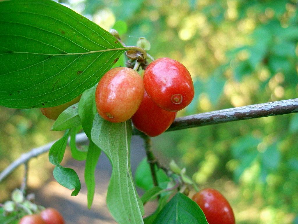 Drieň obyčajný - plody