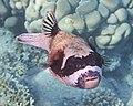 Kugelfisch; Arothron diadematus; Masked puffer.DSCF3595OB.jpg