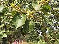 Kydia calycina - Ganeshgudi 07.JPG