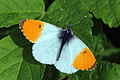 L'Aurore (Anthocharis cardamines) male orange tip.jpg