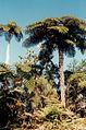 La Reunion La Roche Ecrite Foret Fougere Arborescente - panoramio.jpg
