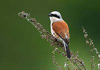 Lanius collurio vogelartinfo chris romeiks R7F6269.jpg