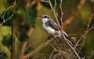 Masked shrike - Juvenile