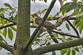 Large Hawk-Cuckoo.jpg