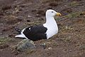 Larus dominicanus -Magallanes Region, Chile -adult on nest-8.jpg