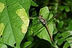 Lathrecista asiatica-Kadavoor-2016-07-05-002.jpg