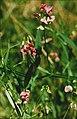 Lathyrus sylvestris eF.jpg