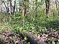 Lathyrus vernus sl1.jpg
