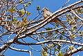 Laughing Dove (37719641811).jpg