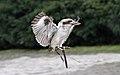 Laughing Kookaburra in Flight.jpg