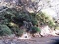 Laurus nobilis L. (AM AK306459-3).jpg