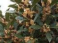 Laurus nobilis g3.jpg