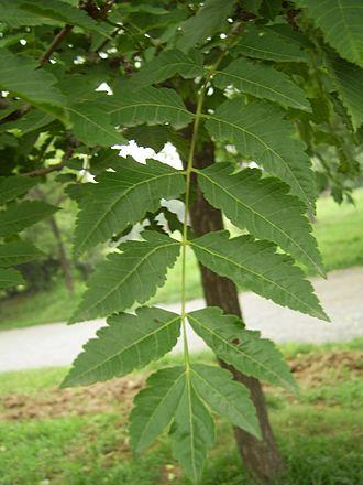 Koelreuteria paniculata - Leaf of var. paniculata