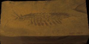 Leanchoilia - Fossil specimen