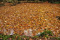 Leaves on the Cann Quarry Canal (3069).jpg
