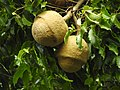 Lecythis pisonis(fruto).jpg