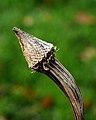 Lege zadenhouder Echinacea purpurea (zonnehoed). Locatie, tuinreservaat Jonkervallei 02.JPG