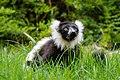 Lemur (27618478498).jpg