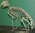 Lepus arcticus 1zz.jpg