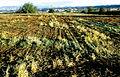 Les Plantes Cultivades. Cereals. Imatge 205.jpg