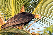 Lesser Yellow-headed Vulture - Oripopo Cabeza Amarilla Menor (Cathartes burrovianus) (25817897121).jpg