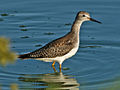 Lesser Yellowlegs Sunset Beach RWD4.jpg