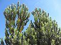 Leucadendron argenteum (8044818701).jpg