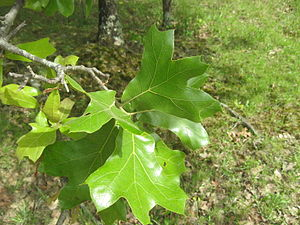 Quercus marilandica - Blackjack oak leaves