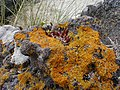 Lichen on a Rock - geograph.org.uk - 745812.jpg