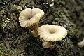 Lichenomphalia umbellifera - Lindsey 1a.jpg