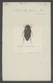 Lichnanthe - Print - Iconographia Zoologica - Special Collections University of Amsterdam - UBAINV0274 019 15 0018.tif
