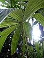 Licuala spinosa Leaf.jpg