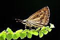 Life history of hampsons hedgehopper (3651810037).jpg