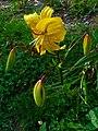 Lilium 'Citronella' Hybride 01.JPG