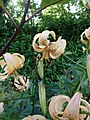 Lilium Rosemary North - Flickr - peganum (6).jpg