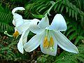 Lilium candidum 1.jpg
