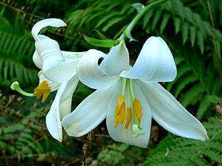 <i>Lilium</i> Genus of plants