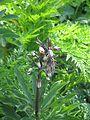 Lilium martagon buds - Flickr - peganum.jpg