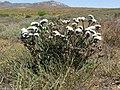 Limonium sp. (Plumbaginaceae) (6931331721).jpg
