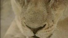 File:Lion.ogv