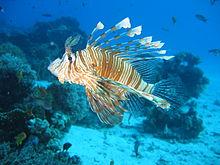 أسد البحر 220px-Lionfish_in_co