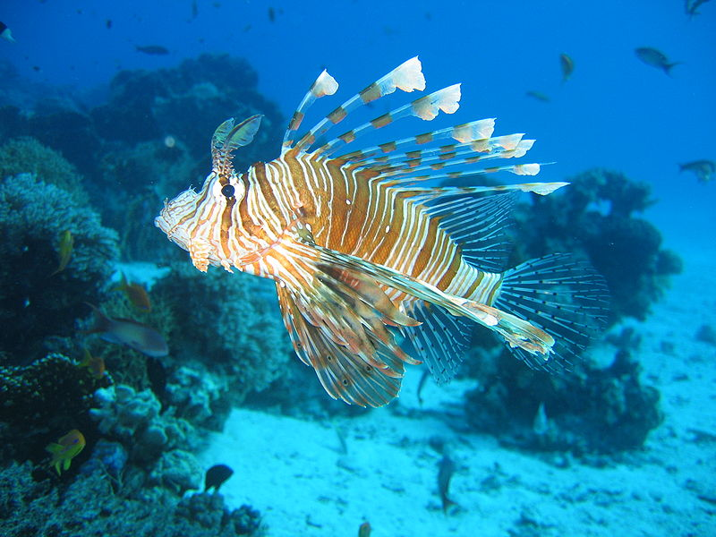 Bestand:Lionfish in coral reef 2004-11-17.jpeg