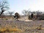 Lvi v Etoshském národním parku bojují o potravu.