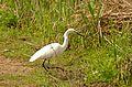 Little Egret (Egretta garzetta) (25885299094).jpg