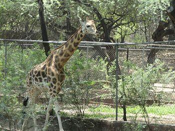 Little giraffe.jpg